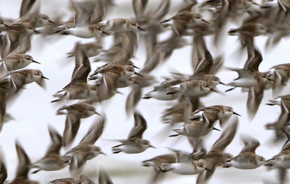 Fall migration - Shorebirds